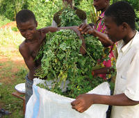 Moringa a miracle plant to feed humanity