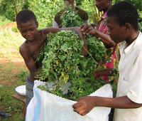La Moringa una pianta miracolosa per nutrire l'umanità